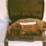 Official Cameron Yards logo road kill. Comes with handsome carrying case! (shown with maggots, not included) $189